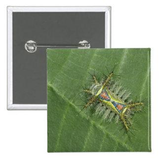 Saddleback moth, Acharia sp., poisonous Pinback Button