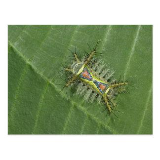 Saddleback moth, Acharia sp., poisonous Postcard