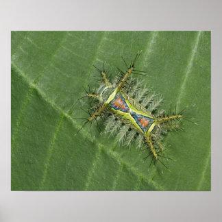 Saddleback moth, Acharia sp., poisonous Poster