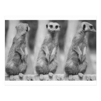 Safari Cute African Classy Suricate Meerkat Postcard
