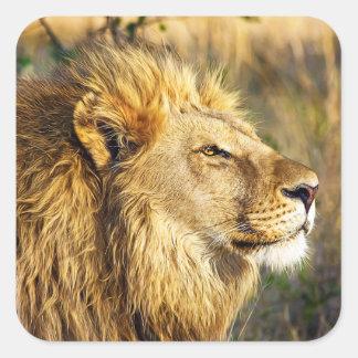 Safari de la fauna del animal salvaje del león pegatina cuadrada