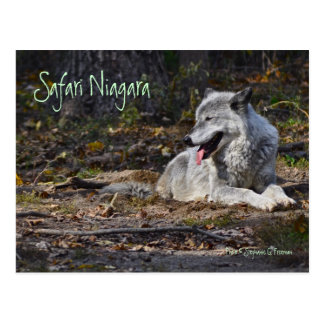 Safari Niagara post card - grey wolf