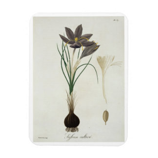 Saffron Crocus from 'Phytographie Medicale' by Jos Magnet