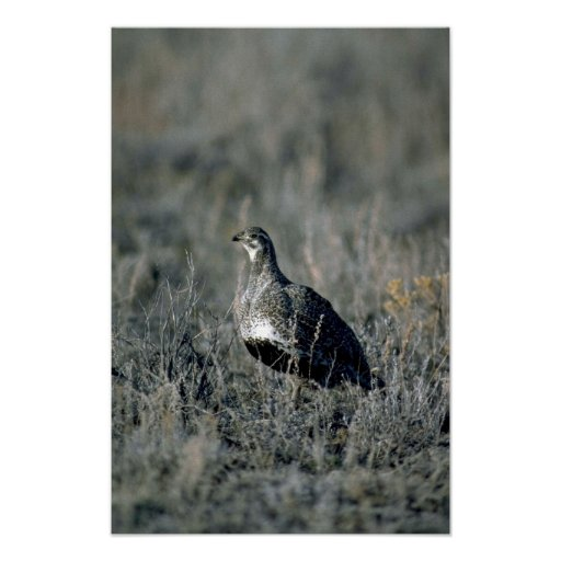 Sage grouse, hen poster