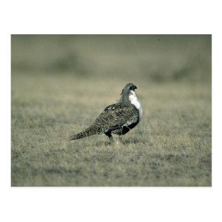 Sage grouse postcard