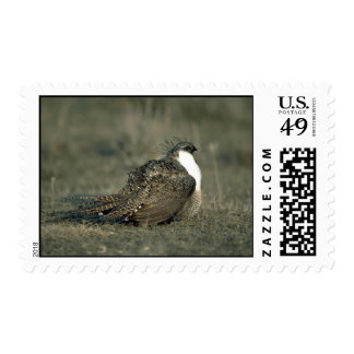 Sage grouse stamp
