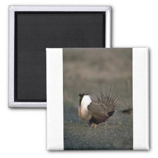 Sage grouse strutting fridge magnets