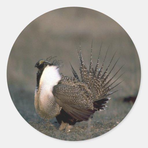 Sage grouse strutting round sticker