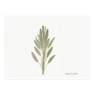 Sage herb botanical plant art print postcard