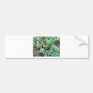 Sage plant car bumper sticker