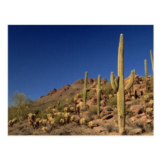Saguaro cacti and Tucson Mountains, Tucson Post Card