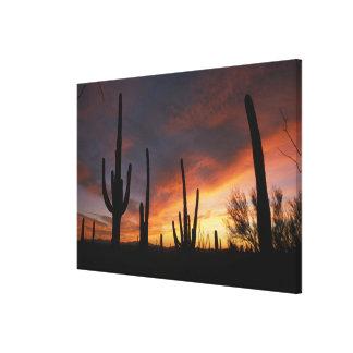 saguaro cacti, Carnegiea gigantea, after Canvas Print