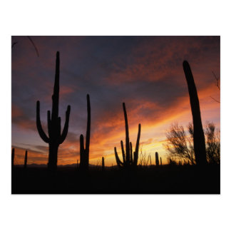 saguaro cacti, Carnegiea gigantea, after Postcard