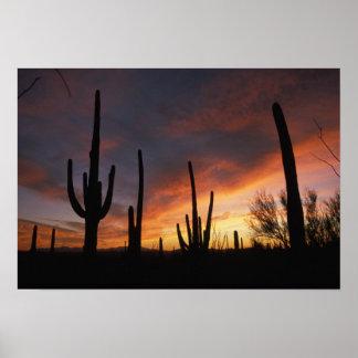 saguaro cacti, Carnegiea gigantea, after Poster