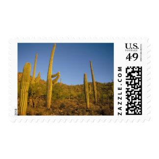 saguaro cacti, Carnegiea gigantea, and prickly Stamp