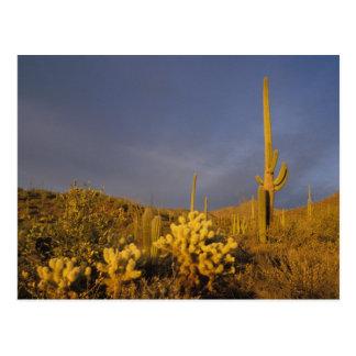 saguaro cacti, Carnegiea gigantea, and teddy Postcard
