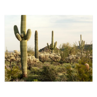 Saguaro Cactus, Arizona,USA Postcard