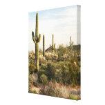 Saguaro Cactus, Arizona,USA Stretched Canvas Print