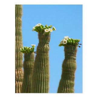 Saguaro Cactus Blossoms Postcard