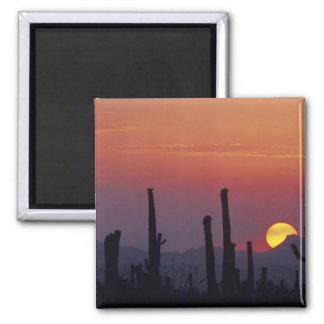 Saguaro Cactus Carnegiea gigantea), Sunset, Magnet