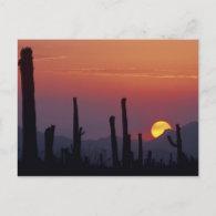 Saguaro Cactus Carnegiea gigantea), Sunset, Postcard