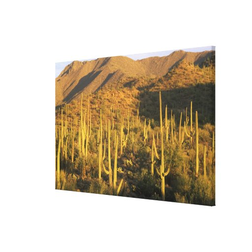 Saguaro cactus in Saguaro National Park near Canvas Print