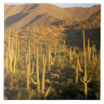 Saguaro cactus in Saguaro National Park near Ceramic Tile