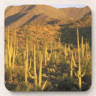 Saguaro cactus in Saguaro National Park near Beverage Coaster