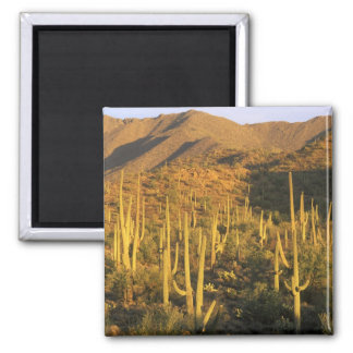 Saguaro cactus in Saguaro National Park near Magnet