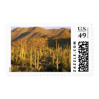 Saguaro cactus in Saguaro National Park near Postage