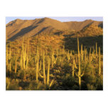 Saguaro cactus in Saguaro National Park near Postcard