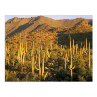 Saguaro cactus in Saguaro National Park near Postcard