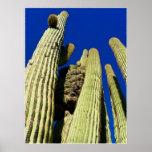 Saguaro con cresta posters