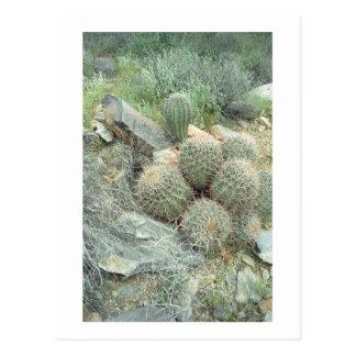 Saguaro Swirl Cactus Sonora Arizona Photo Postcard