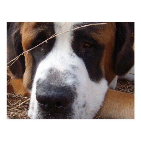 Saint Bernard Dog Postcard