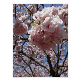 Sakura Blossom Close up - Kyoto Poster
