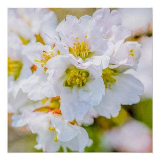 Sakura Blossom Poster