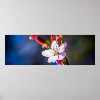 Sakura - flor japonesa de la cereza póster