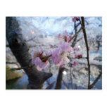 Sakura - flores de cerezo en el parque de Kajo Tarjetas Postales