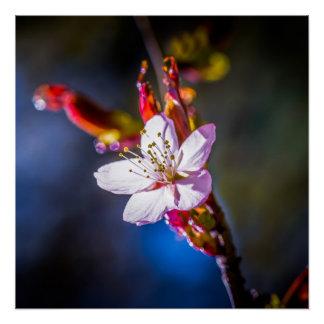 Sakura - Japanese cherry flower Poster