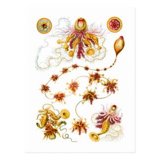 Salacella / Epibulia Postcard