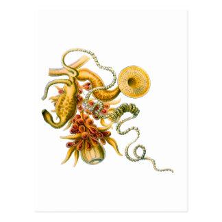 Salacella Postcard