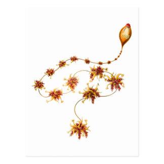 Salacella uvaria postcard