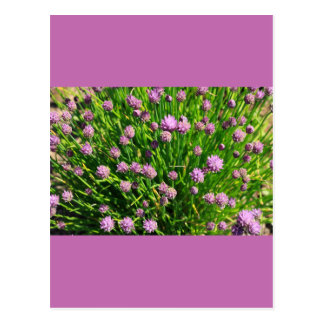 Salad Onion Blooming with Purple Blossoms Postcard