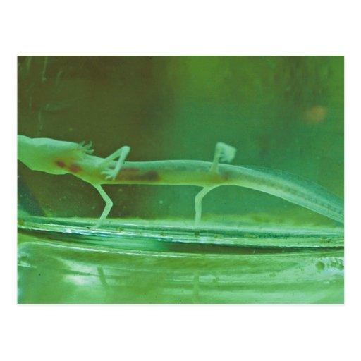 Salamander ciego de Tejas Postales