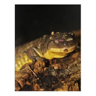 Salamander de tigre tarjeta postal