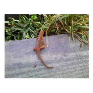 Salamander Tarjeta Postal