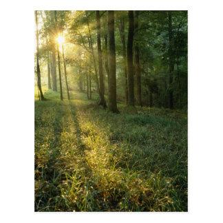 Salida del sol a través del bosque del roble y de postal