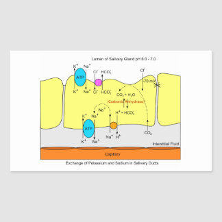 Saliva Gland Secretion Duct Diagram Rectangular Sticker