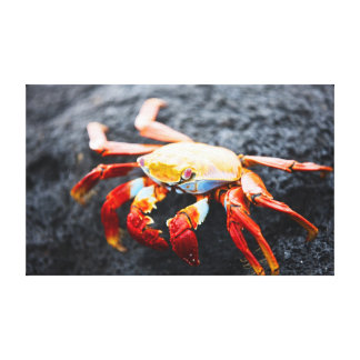 Sally lightfoot crab on a black lava rock canvas print